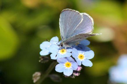 An Echo Azure Butterfly (Celastrina echo) on Forget-me-not Flowers